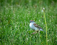 Chipping Sparrow. Image taken with a D2xs camera and 300 mm f/2.8 VR  lens + 1.4x TC-E II.