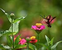 Hummingbird Clearwing (Hemaris thysbe) moth feeding on a Zinnia flower. Image taken with a Nikon D5 camera and 200-500 mm f/5.6 lens.