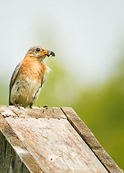 A bluebird grabs an insect meal for lunch