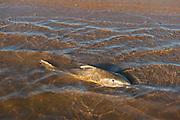 Catfish<br /> mid Orinoco River, 110 Km north of Puerto Ayacucho. Apure Province, VENEZUELA. South America.
