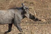 Warthog in east African habitat