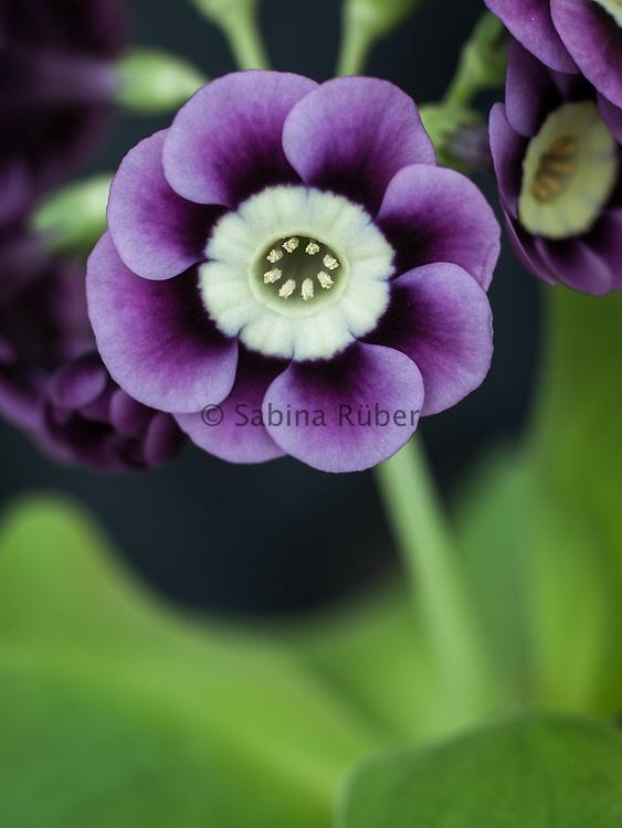 Primula auricula 'Page Boy' - light centred alpine