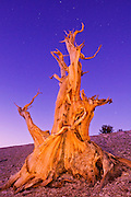 Ancient Bristlecone Pine (Pinus longaeva) under starry sky in the Patriarch Grove, Ancient Bristlecone Pine Forest, White Mountains, California USA