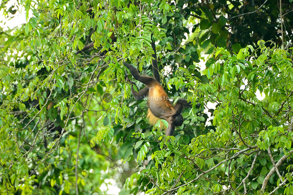 Mantled Howler (Alouatta palliata) hangs by its tail from a tree in Golfo Dulce, Puntarenas, Costa Rica.