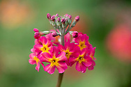 A close-up of a pink  Primula Candelabra in the bog garden at Forde Abbey, Chard, Dorset, UK
