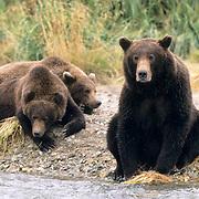 Alaskan Brown Bear, (Ursus middendorffi)  Mother with cubs on shore. Katmai National Park. Alaska.