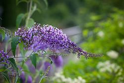 Buddleia growing wild near a railway line. Buddleja davidii