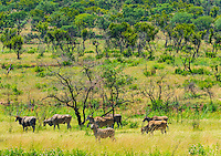 Zebras and eland, Dinokeng Game Reserve, near Pretoria (Tshwane), South Africa.