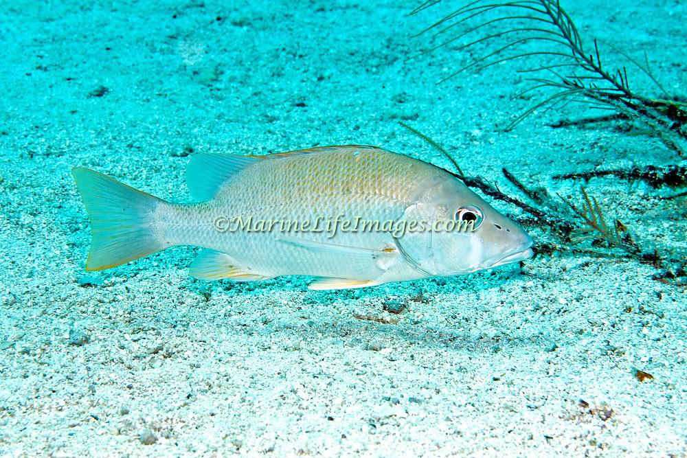 Dog Snapper inhabit mid-range reefs, in Tropical West Atlantic; picture taken Key Largo, FL.