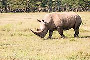 White rhinoceros or Square-lipped rhinoceros (Ceratotherium simum) Photographed in Tanzania