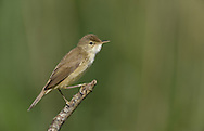 Reed Warbler - Acrocephalus scirpaceus
