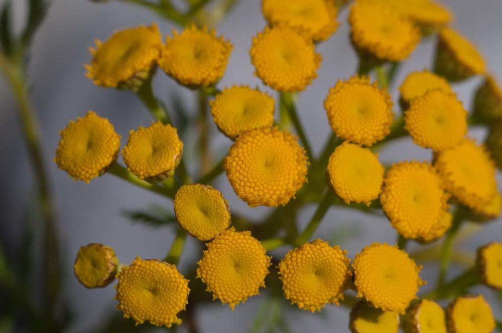 Yellow Flowers, North Cascades National Park, Washington, US