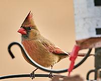 Northern Cardinal (Cardinalis cardinalis). Image taken with a Nikon D850 camera and 600 mm f/4 VR lens.
