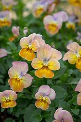 Viola cornuta 'Apricot Antique' F1