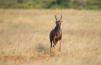 A Topi, Damaliscus lunatus jimela, runs through the grass in the Trans Mara area near Maasai Mara National Reserve, Kenya