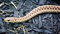 Garter Snake. Image taken with a Nikon 1 V3 camera and 70-300 mm VR lens.