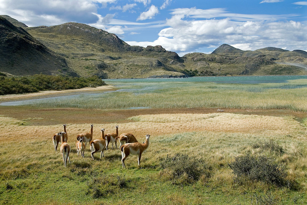 Guanacos in Torres Del Paine National Park, Patagonia, Chile.