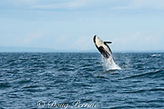 southern resident orca, or killer whale, Orcinus orca, juvenile breaching, off southern Vancouver Island, Strait of Juan de Fuca, British Columbia, Canada ( Eastern North Pacific Ocean )