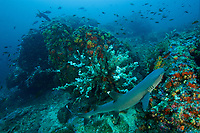 Deep rocky seamount at 30 m depth, covered in rich, colorful invertebrate life including anemones, sponges and corals.  <br />Whitetip Reef Shark (Triaenodon obesus) and jacks.<br /><br />Coiba Island<br />Coiba National Park<br />Panama<br /><br />Bajo Veinte dive site