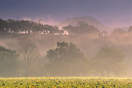 Fog, hills, trees, and vineyard at sunrise, near Oakville, Napa Valley, Napa County, California