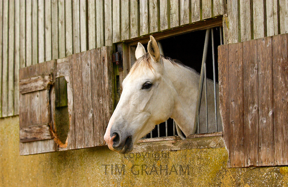 Grey mare watching from stable window at livery yard in Oxfordshire.