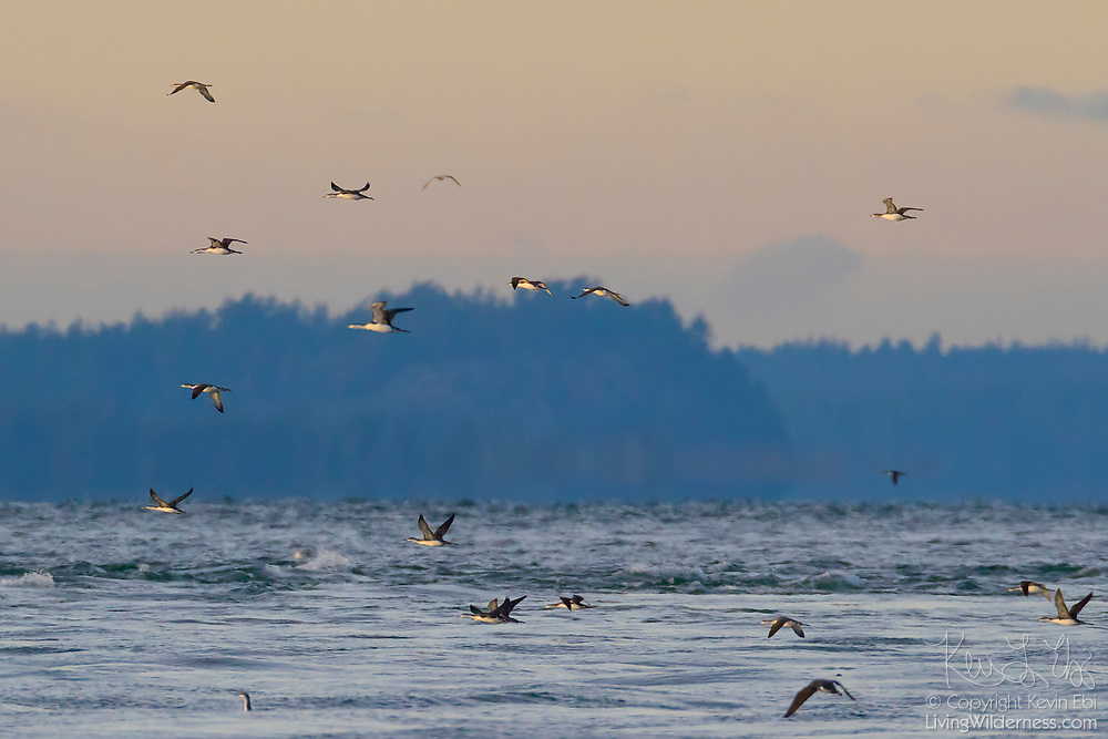 A flock of red-throated loons (Gavia stellata), displaying their winter plumage, fly out into the Strait of Juan de Fuca to feed near Deception Pass, Washington. Red-throated loons winter in the northern coastal waters.