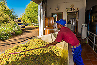Freshly picked white wine grapes before crushing during the harvest at Kleine Zalze Wines, Stellenbosch, Cape Winelands, South Africa.