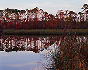 Southern pines reflected in Doyle Creek, Tate's Hell State Forest, Florida.