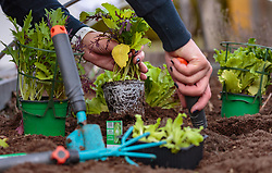 THEMENBILD - eine Frau beim einsetzen von Salatpflanzen im Garten, aufgenommen am 10. April 2018 in Kaprun, Österreich // a woman planting salad plants, Kaprun, Austria on 2018/04/10. EXPA Pictures © 2018, PhotoCredit: EXPA/ JFK