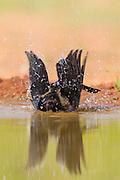 Bronzed cowbird bathing