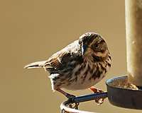 Song Sparrow (Melospiza melodia). Image taken with a Nikon D5 camera and 600 mm f/4 VR lens.