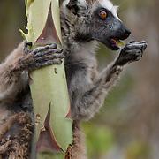 Ring-tailed lemur eating. Berenty Reserve, Madagascar