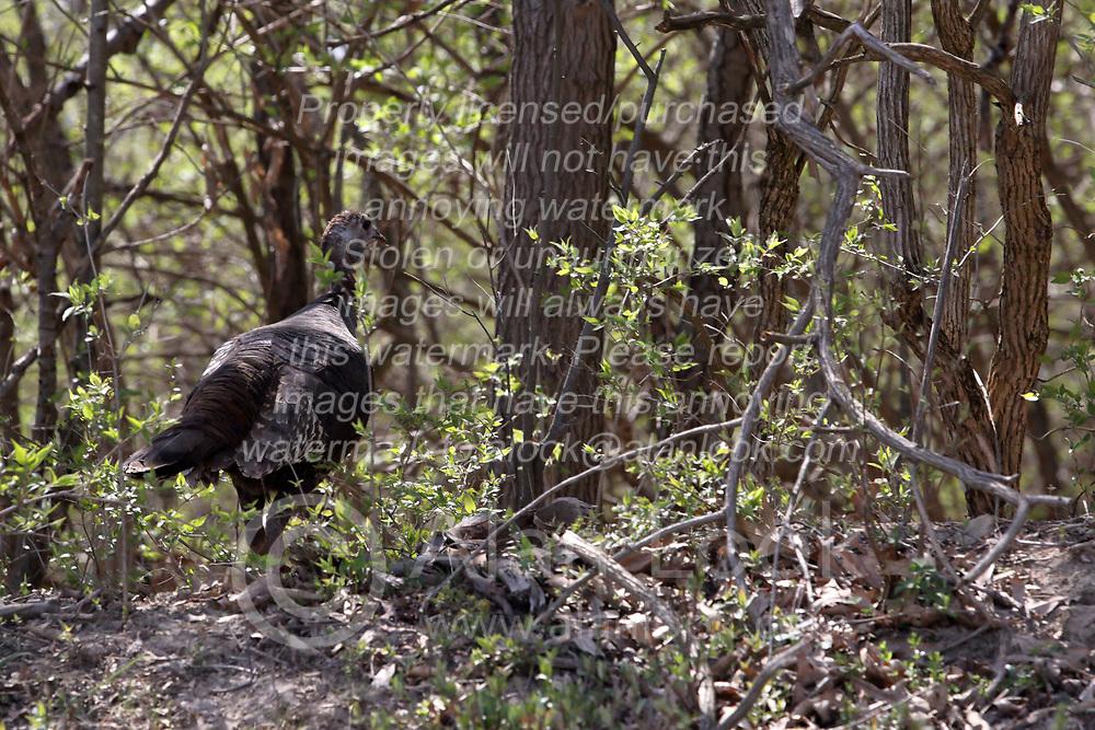 Wild Turkey (Meleagris gallopavo)