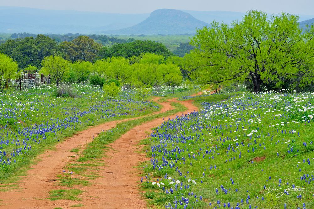 Texas bluebonnets and prickly poppies flowering  along a country road, with spring mesquite trees, Willow City, Gillespie County, Texas, USA, Willow City, Gillespie County, Texas, USA