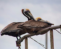 Brown Pelicans, Shem Creek, Mount Pleasant, South Carolina photo by Catherine Brown