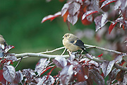 Young Bullfinch, female, summer<br /> *ADD TO CART FOR LICENSING OPTIONS*