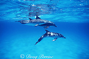 Atlantic spotted dolphins, Stenella frontalis, adult female with two young calves, White Sand Ridge, Little Bahama Bank, Bahamas ( Western North Atlantic Ocean )