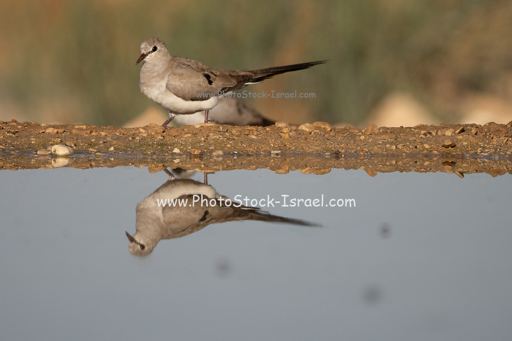 Female Namaqua dove (Oena capensis) The males have yellow and red beaks, while the female (here) has a black beak. This dove forages for seeds. It is found throughout sub-Saharan Africa, and up into the Arabian peninsula and Turkey. Photographed near water in the Negev desert, israel