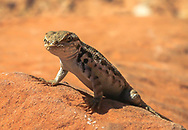 Small lizard, one of many seen, on hikes in Zion National Park. Probably the plateau lizard, the most common in the park. Photo taken May 13, 2016.