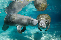 Florida manatee, Trichechus manatus latirostris, a subspecies of the West Indian manatee, endangered. A series chronicling the courting or cavorting behavior between male and female manatees. The male approaches a female with a hidden fish, bream, Lepomis spp., in the clear blue freshwater. Horizontal orientation with reflection. Three Sisters Springs, Crystal River National Wildlife Refuge, Kings Bay, Crystal River, Citrus County, Florida USA.