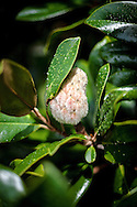 The state flower of Mississippi and Louisiana, the Magnolia budding.