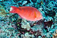 Regal Parrotfish, Scarus dubius, Bennett, 1828, Lanai Hawaii