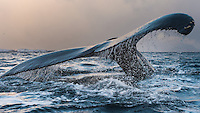 A Humpback whale dives into the freezing cold water while the low winter light makes the sky glow in orange. Water is coming of its fluke like a cold shower. Tromsø, Norway.
