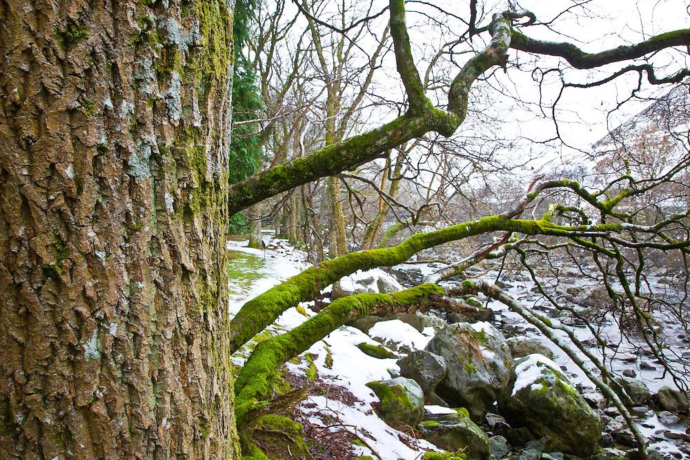 Oak Tree, (Quercus robur) River Elan, The Elan Valley, Rhayader, Mid-Wales, UK        ROBLE,  RIO ELAN, VALLE DE ELAN, RHAYADER, GALES MEDIO, REINO UNIDO