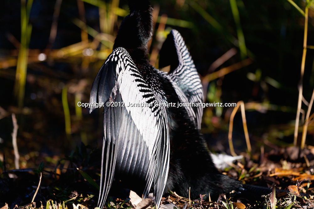 An Anhinga (Anhinga anhinga) water bird spreads its wings to dry them after diving for food in a canal in Everglades National Park, Florida. WATERMARKS WILL NOT APPEAR ON PRINTS OR LICENSED IMAGES.