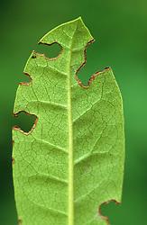Vine weevil damage
