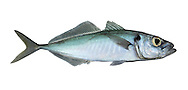 Horse Mackerel Trachurus trachurus Length to 70cm<br /> Pelagic, open water fish, also known as Scad. Ventures into inshore waters in summer; young fish associate with floating seaweed rafts. Adult often looks pale and silvery overall. Close view reveals green tinge to upperparts. Note also the striking curve in the lateral line. Eyes are proportionately large. Fairly common in S and SW only.