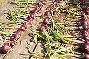 Lines of red onions drying on wooden table, Suffolk, UK