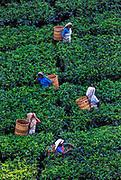 Tea pluckers harvesting tea on a Kandy tea plantation.