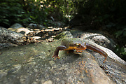 California Newt (Taricha Torosa) lumbers across a rock along side of a stream. Altadena, California.